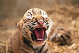 Click image for larger version  Name:p11_ZooTigercub.JPG Views:46 Size:140.2 KB ID:81249