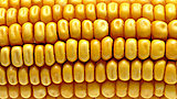 Click image for larger version  Name:corn_wide-19abc141a549731537944a9422c0de8092924338-s6-c30.jpg Views:9 Size:44.6 KB ID:77776