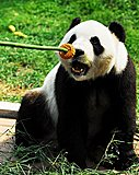 Click image for larger version  Name:giant-panda-eat-mooncakes-11091202.jpg Views:12 Size:64.6 KB ID:77853