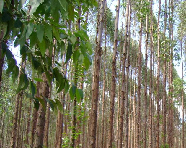 Click image for larger version  Name:como-plantar-eucalipto.jpg Views:1224 Size:163.3 KB ID:64151