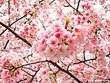 Click image for larger version  Name:ueno-sakura.jpg Views:42 Size:354.0 KB ID:64153