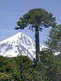 Click image for larger version  Name:Araucaria_araucana_vor_Lanin_klein.JPG Views:23 Size:80.0 KB ID:64181