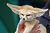 Click image for larger version  Name:10_Month_Old_Fennec_Fox.jpg Views:46 Size:2.28 MB ID:81043